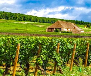 Burgund Weinreben