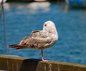 Gull at the Baltic Sea