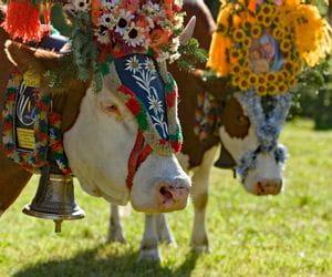 Adorned cows