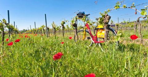 Blick auf Weinreben auf der Pfälzer Weinsternfahrt