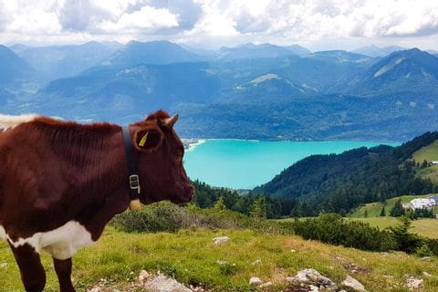 Schafberg Kuh
