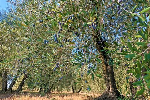 Olivenbaum in der Toskana