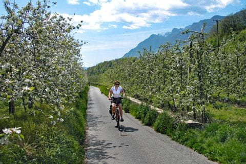 Blooming apple trees in south tyrol
