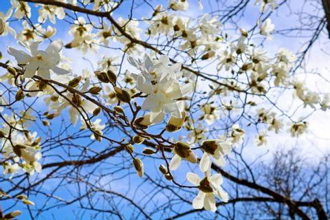 Weiße Magnolien Blüten