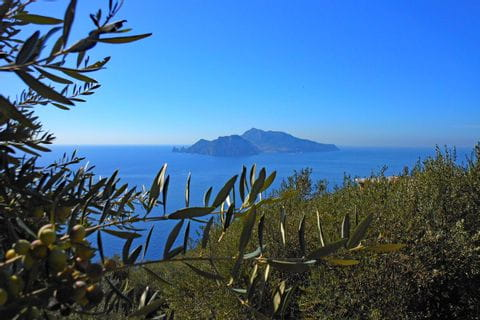 Olive tree in front of sea view