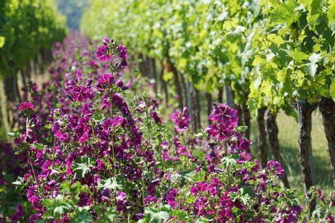 Blumen im Weingarten