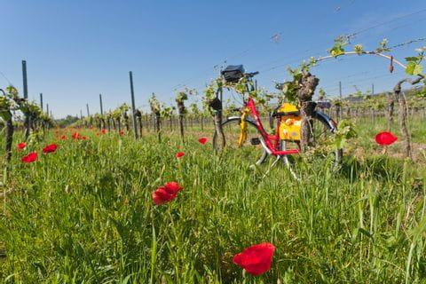 Fahrrad inmitten von Weinreben bei der Tour Drei Kaiserdome am Rhein
