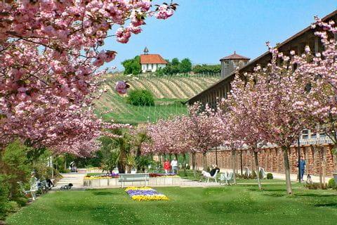 Cherry trees in flower in Bad Dürkheim