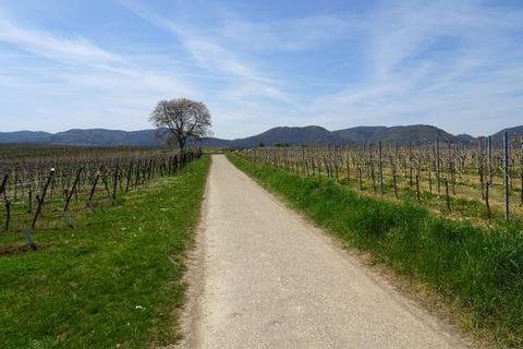 Radweg durch Weinreben in der Pfalz