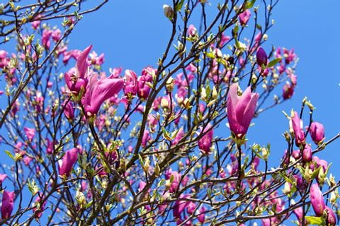 Blume Magnolie
