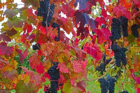 Weintrauben und rote Weinblätter