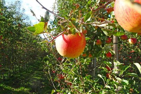 Äpfel auf der Radreise von Reschen nach Bozen