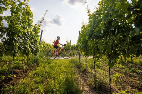 Cycling through the vineyards in the wonderful nature