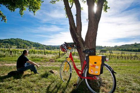 Radler genießt Pause in den Weinreben