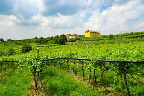 Weingarten entlang dem Radweg von Verona nach Vicenza