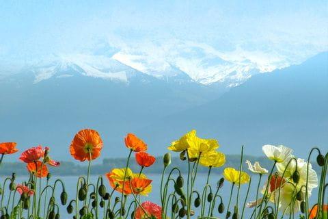Blumen am Genfer See