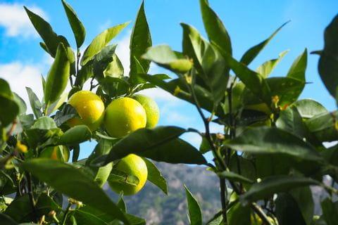 Zitrusfrüchte in Fornalutx
