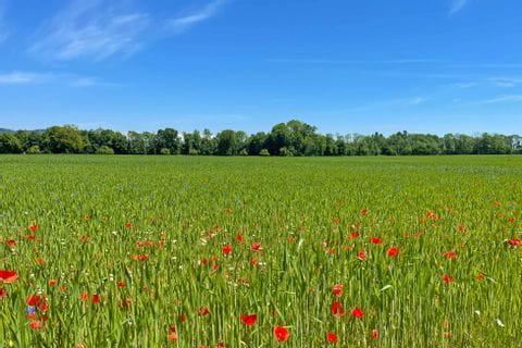 Poppy field between Burghausen and Schärding