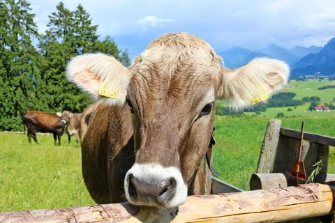 Brown Allgäu cow