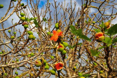 Fig tree on the way
