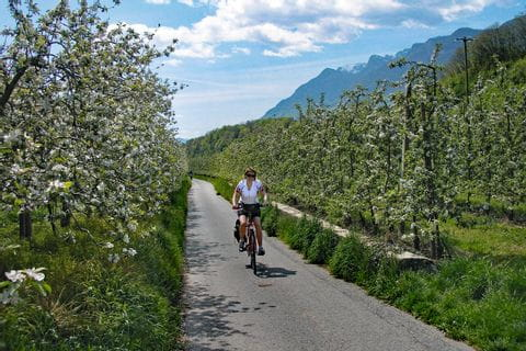 Cycle path leads through blooming apple trees