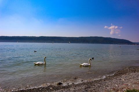 Lake Constance with swans