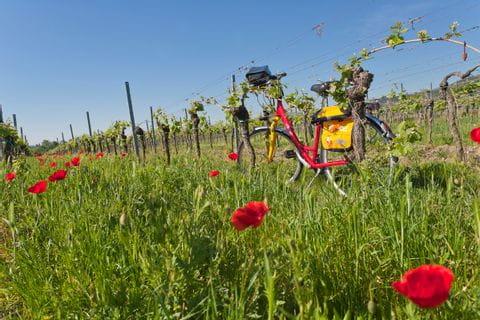 Fahrrad vor Weinreben in der Pfalz
