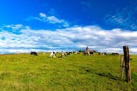 Weide mit Kühen