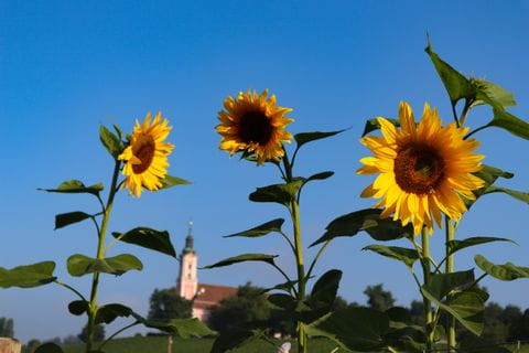 sun flowers with birnau monastery at the back ground