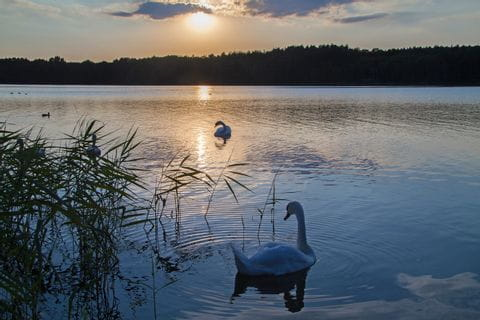 Schwäne im Sonnenuntergang Mecklenburger Seenplatte