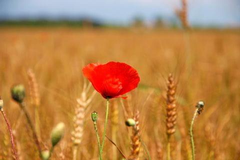 Poppy flower infront of a weat field
