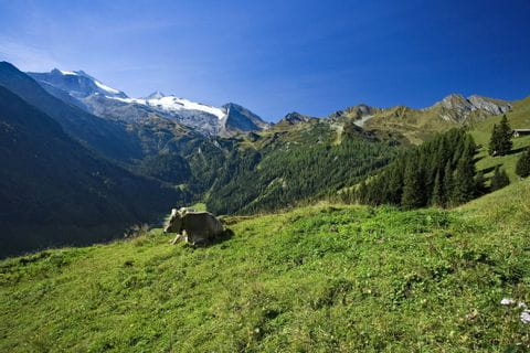 Cow in front of breathtaking alps panoramic view