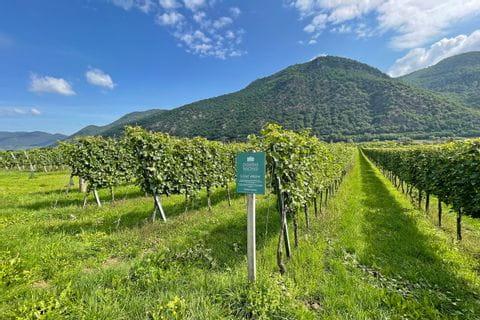 Weingärten Grüner Veltliner bei Traismauer