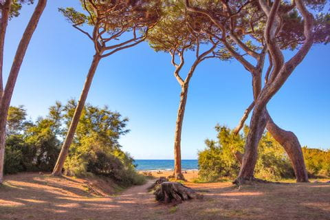 Kieferbäume in der Bucht von Baratti