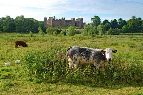 Kühe vor der Burg Framlingham