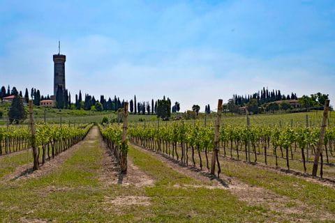 Weingarten in Desenzano