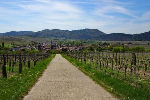 Radweg durch die Weinreben in der Pfalz