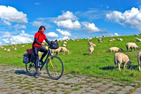 Schaf Weide neben dem Radweg