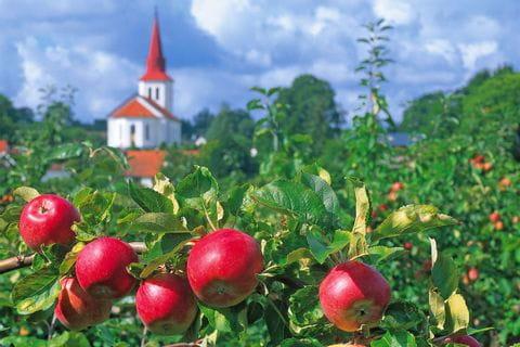 Apfelplantage in Kivik