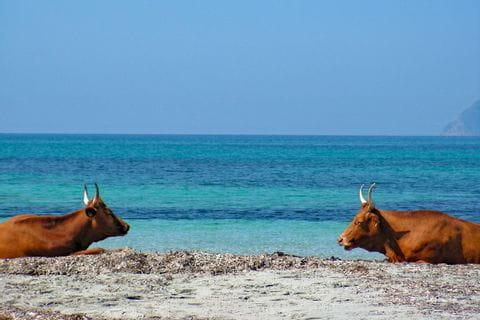 Cows at the beach