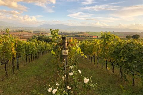 Weingärten in Umbrien