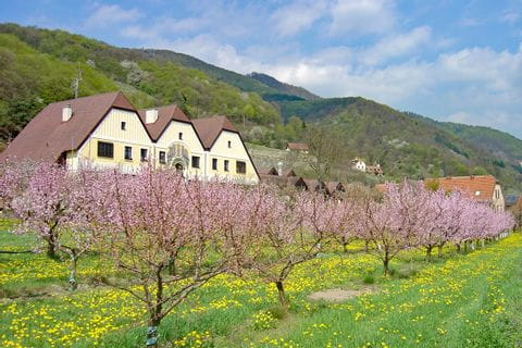 Apricot trees in flower