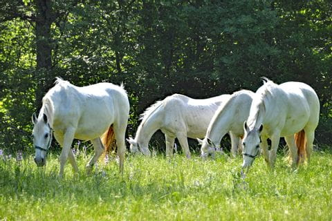 White horses on a green meadow