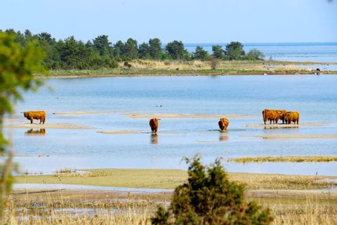 Buffalos in the lagoon