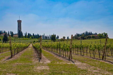 Weinberge bei Desenzano am Gardasee