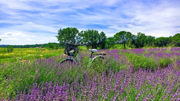 Fahrrad im Lavendelfeld in der Provence