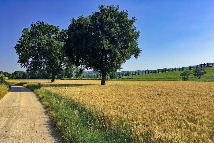 Weizenfled neben Radweg
